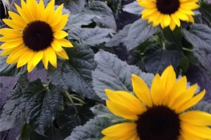 Sommerblumen_Erwitte_Spätsommer_Enge