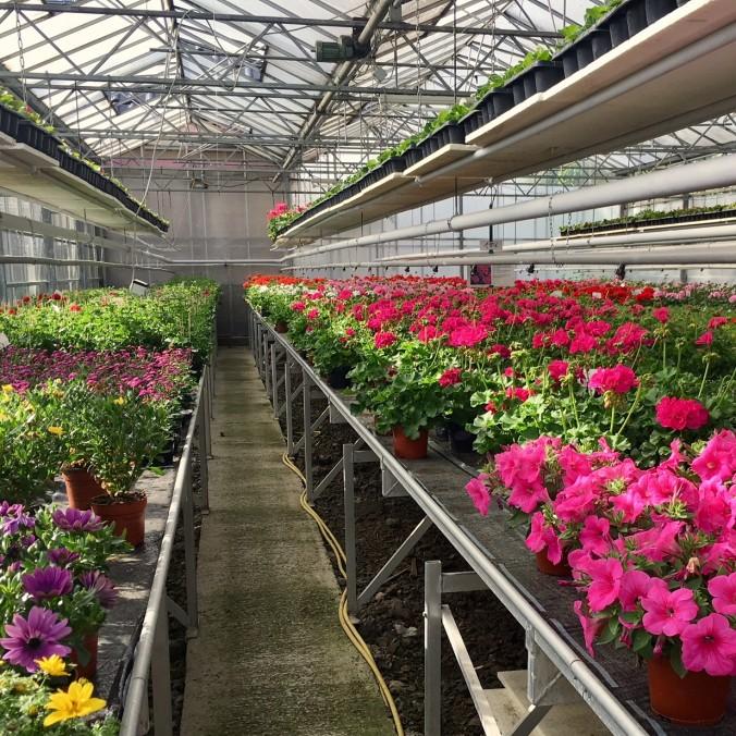 Gärtnerei_Enge_Sommer_2018_Mai_Juni_Juli_Blumen_Pflanzen_Start