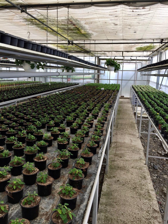 Kaufen_wo_die_Pflanzen_auch_wachsen_Gaertnerei_Enge_2