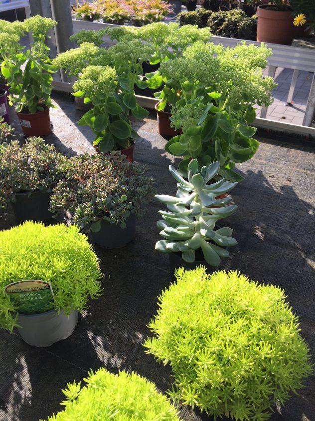 Herbst_Gaertnerei_Enge_Herbliches_Pflanzen